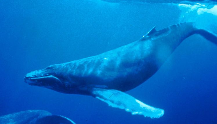 800px-Humpback_Whale_underwater_shot.jpg